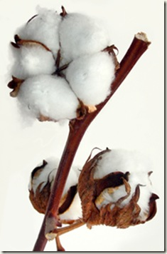 cotton plant with white seed-vessels