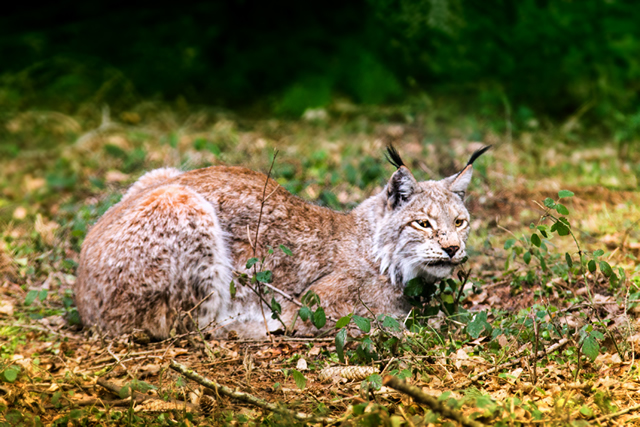 lince640