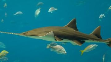 El pez sierra nadando felizmente por aguas subtropicales. Imagen: Diliff