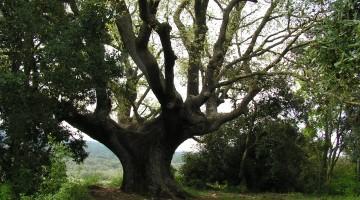 El roble es una especie típica de los bosques templados. Imagen: Mª África