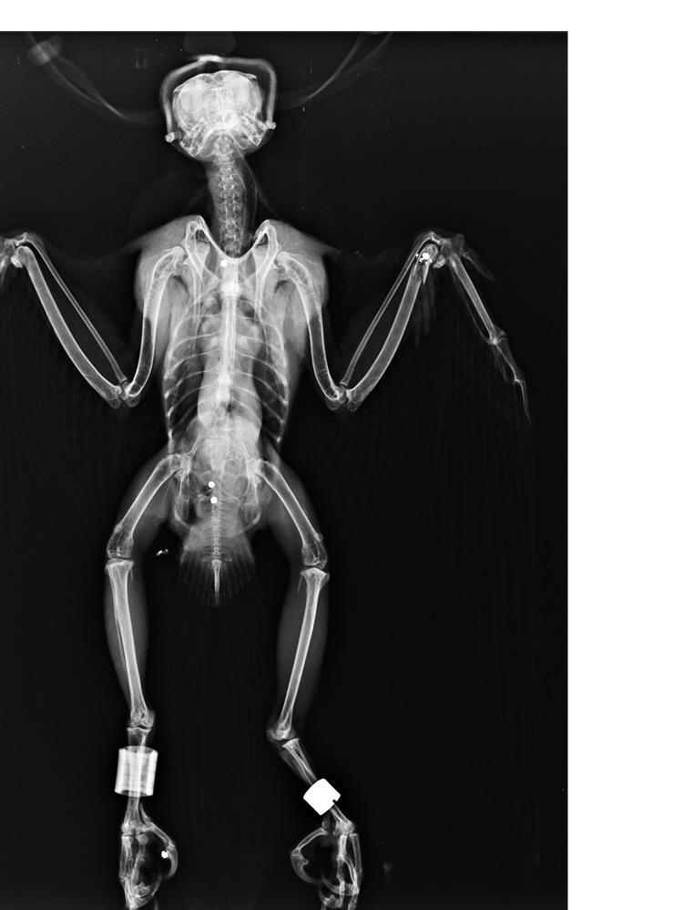 750 Radiografía del halcón con perdigones (c) GREFA
