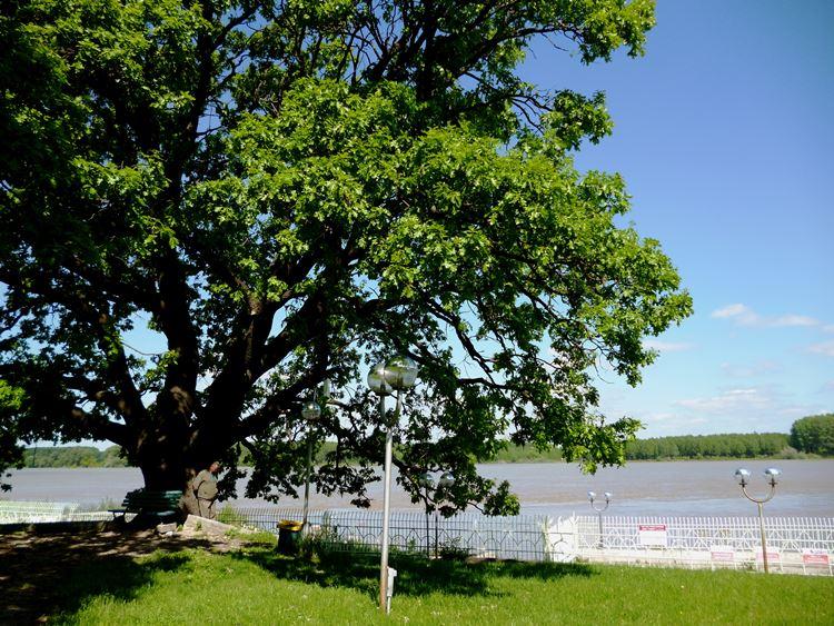 El Roble del Parque del Danubio en Silistra, Bulgaria. Fotografía: Nevyana Marinova. Especie: Roble (Quercus robur).